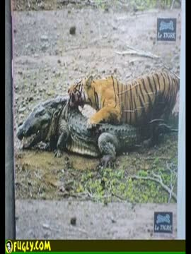 Tiger kills Crocodile